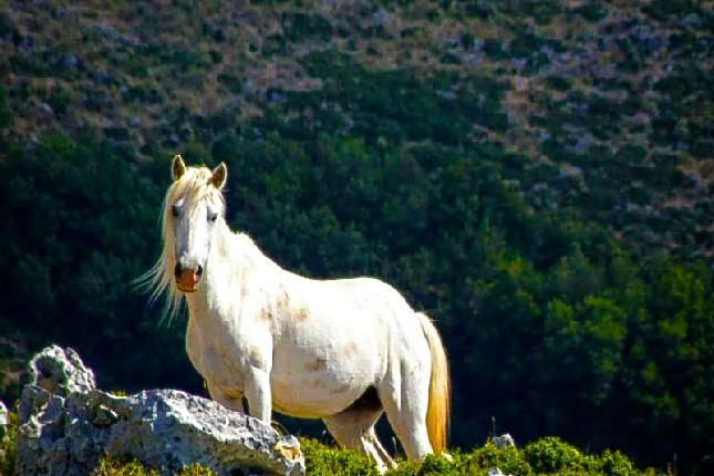 Kefalonia_horse
