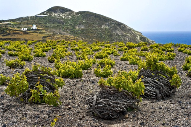 Santorini_vineyards