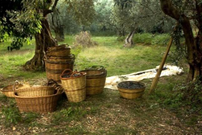 Harvested olives Greece