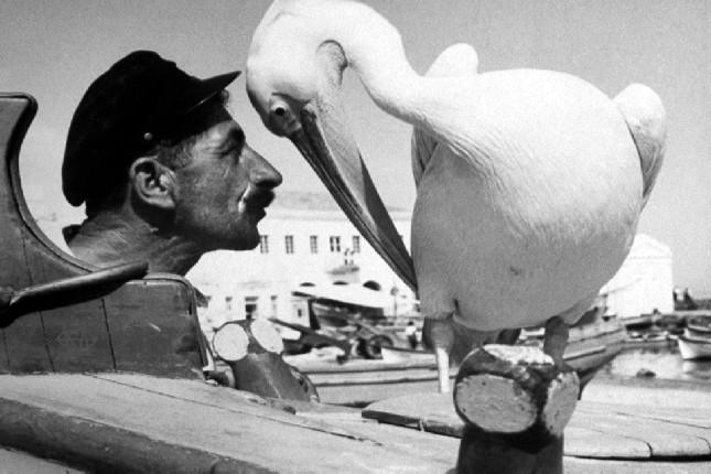 peter_pelican_mykonos