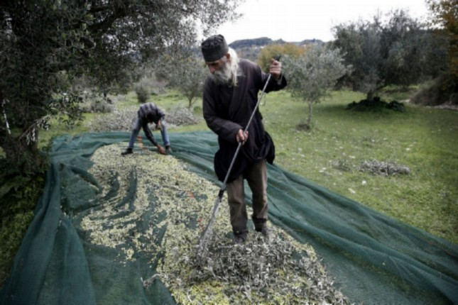 Olives being collected