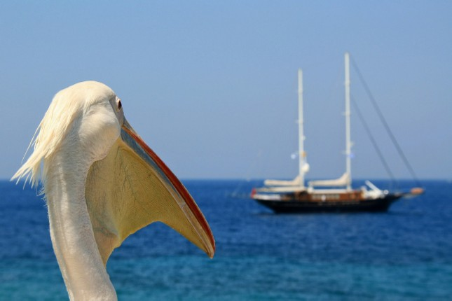 Petros the Pelican - The Superstar of Mykonos!