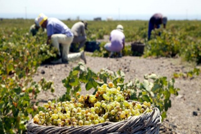 grape_harvest_in_santorini